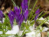 Purple Crocuses Poking Through the Snow