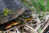Blandings Turtle (Emydoidea blandingii)