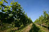 Vineyard in Southwest Germany