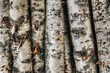 Birch trunks