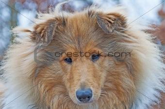 british Collie dog