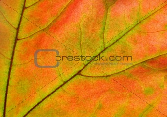 autumn leaf glowing in sunlight