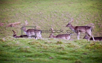 Herd of fallow deer stag bucks