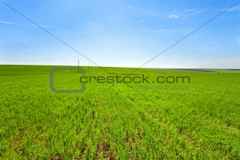 Beautiful spring wheat field