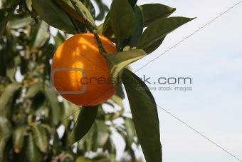 Citrus Fruit