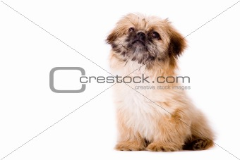 Sitting pekingese dog