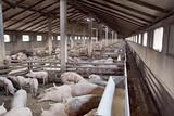 Pig Farm