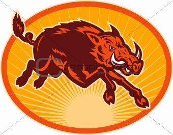 Charging attacking razorback wild boar or pig