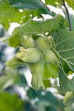 Green hazelnut