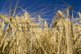 Cereal rye straw plants