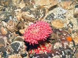 Painted Anemone on Ocean Floor