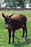 Old donkey