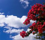 Bougainvillea against deep blue sky