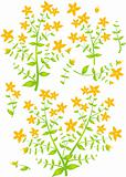 Floral elements for design, St.John's Wort, vector