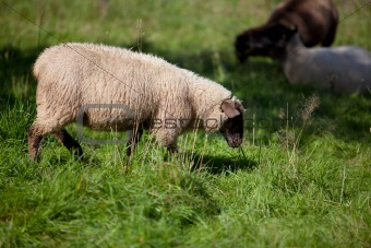 Meadow with sheep