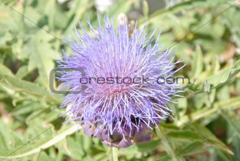 Artichoke Flower In Bloom