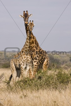 A Tower Of Giraffes