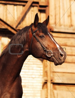 portrait of brown breed sportive horse