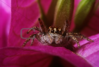 smiles jumping spider