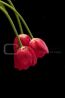 Three fresh spring red tulips on black background with copy spac