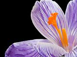 Beautiful macro close up of fresh spring crocus flower