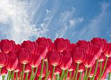 Beautiful fresh spring image of red tulip flowers against stunni