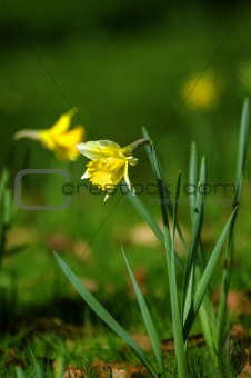 Beautiful daffodil narcissus flowers in fresh spring meadow