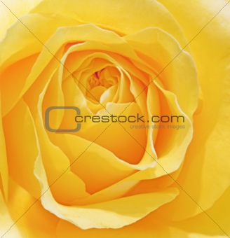 Beautiful macro close up of fresh sprring rose flower with vibra