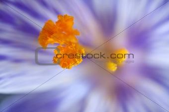Beautiful macro close up of fresh spring crocus flower