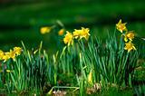 Fresh spring daffodil narcissus flowers in woodland