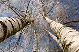 winter birches in white rime