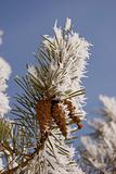 pine branch with cones in rime