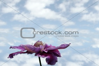 clematis flower with sky