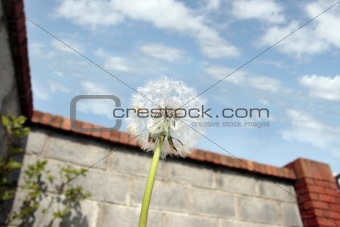 free dandelion in back garden