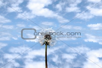wild free dandelion against cloudy sky