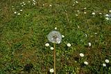 wild free dandelion