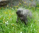 Porcupine eating in tall grass