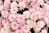 Many beautiful pink chrysanthemums, autumn bouquet, close-up