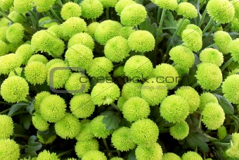 Green chrysanthemum background
