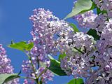 Sprig of lilac blossoms against the blue sky