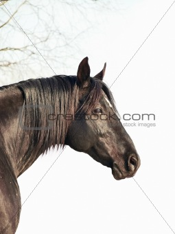 black horse at white background  with branch of tree