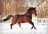 running bay horse at snow field
