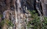 Wild European brown hare (lepus europaeus) is looking out from grass