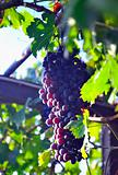 The bunch of red grape in vineyard. outdoors in Italy