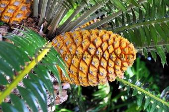 Cycad cone, Encephalartos Transvenosus - Monte Palace botanical garden, Monte, Madeira
