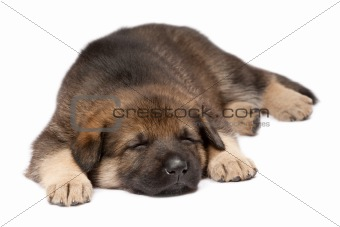 Sleeping shepherd dog`s puppy