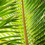 Palm frond.