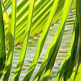 Palm fronds.