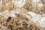 Cattail plants in snow.