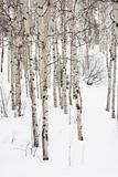 Aspen trees in winter.